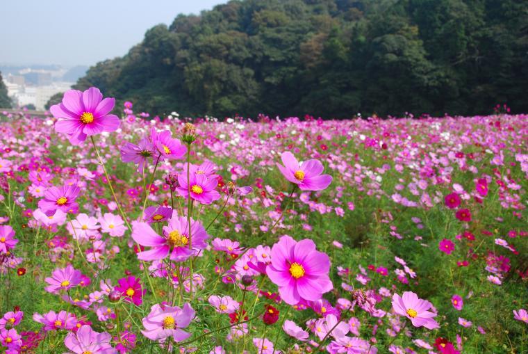 くりはま花の国コスモスまつり