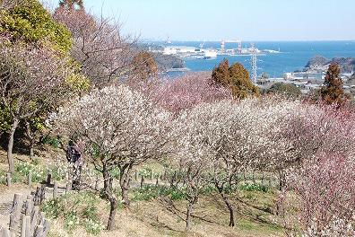 Taura Plum Blossom Festival
