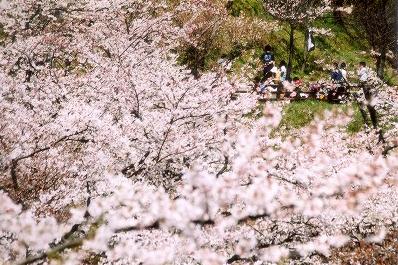 Kinugasa Cherry Blossom Festival