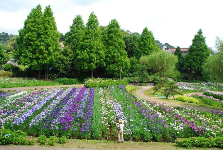 しょうぶ園の画像